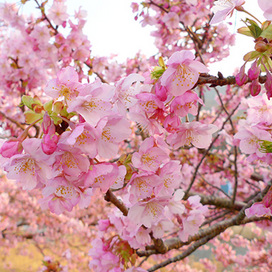 河津桜140301_1.jpg
