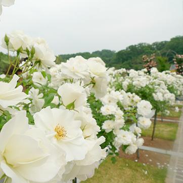 花フェスタ180530_3.jpg