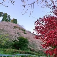 冬桜111124_1.jpg