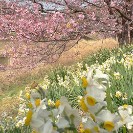 南の桜140305_3.jpg