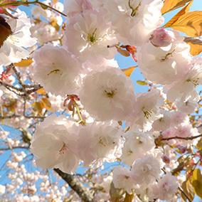 山桜150510_1.jpg